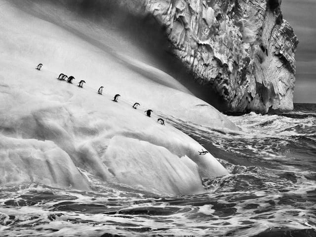 Zügelpinguine auf den Südlichen Sandwichinseln.