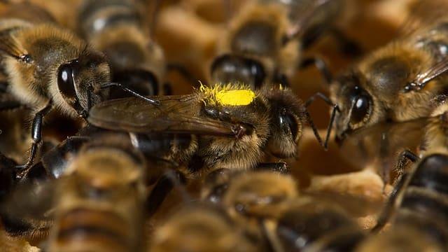 Eine Bienenkönigin, umringt von Arbeiterinnen.