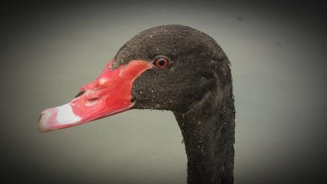 Bild des schwarzen Schwans.
