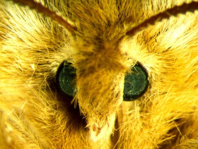 Mikroskopaufnahme von einem Schmetterling namens Nagelfleck.