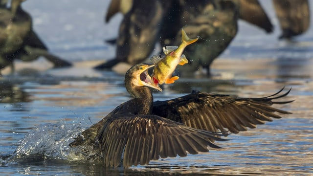 Ein Kormoran frisst ein Egli, dahinter schwimmen weitere Kormorane.