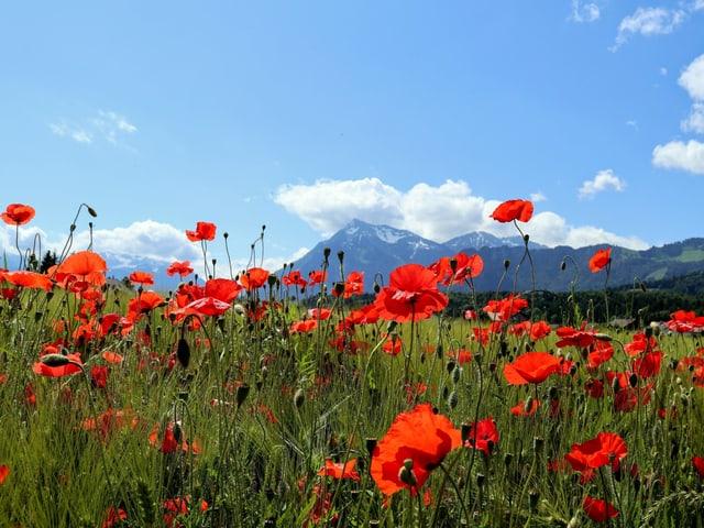 Blühender roter Mohn, im Hintergrund Berge, darüber blauer Himmel.