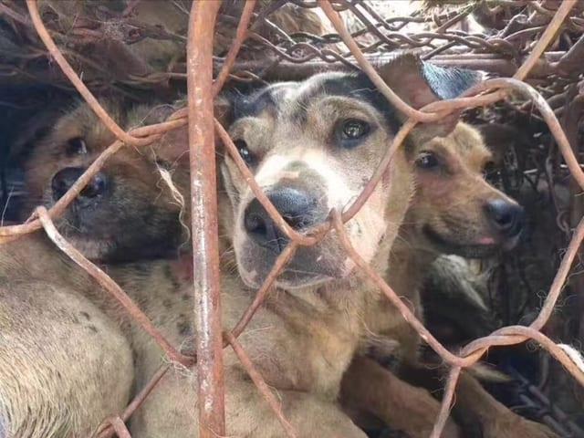 Drei Hunde in einem Käfig.