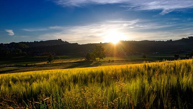 Das Getreidefeld schimmert im Sonnenlicht in Gelb- und Grüntönen. Im Hintergrund sind die Bäume und Wälder nur schemenhaft zu erkennen. Am Himmel hat es ein paar Schleierwolken.
