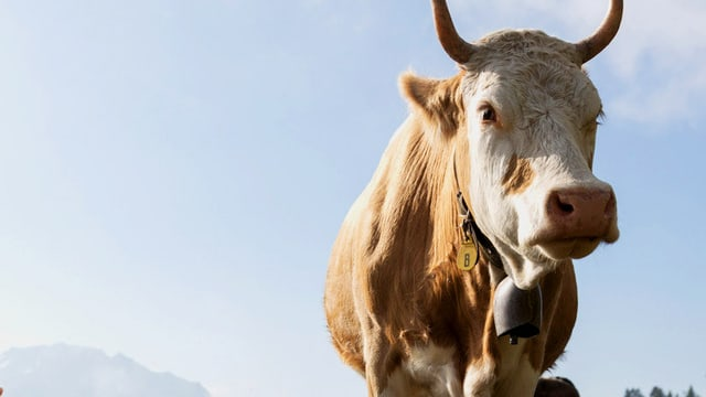 Eine Kuh mit Glocke.
