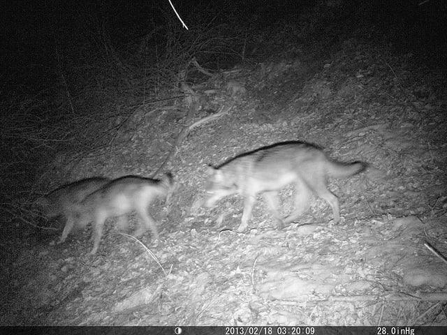 Drei Wölfe, aufgenommen am 18. Februar.