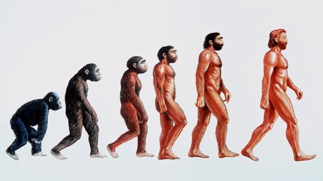 Darstellung der Evolution. Entwicklung vom Affe zum aufrecht gehenden Menschen.