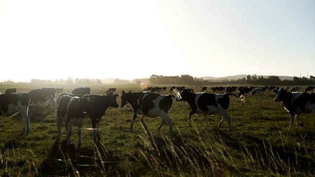 Kühe auf Feld.