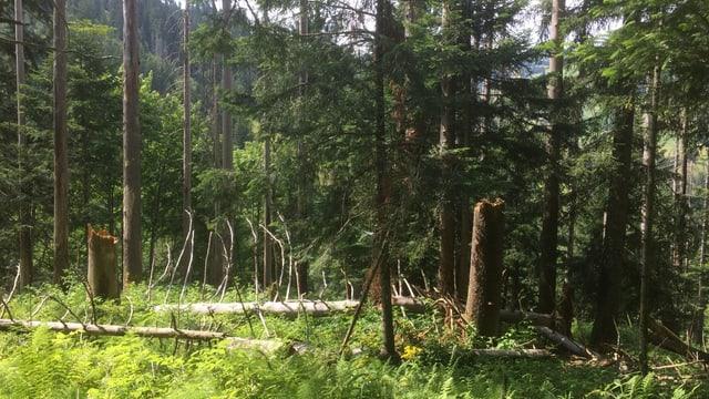 tote Bäume liegen im Wald herum