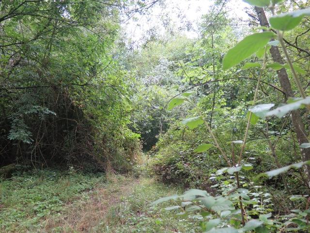 Zugang zur Brücke für Wildtiere, Weg ist überwachsen