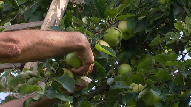 Hand pflückt Äpfel vom Baum