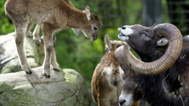 Mufflons (mit Hörnern) im Zoo