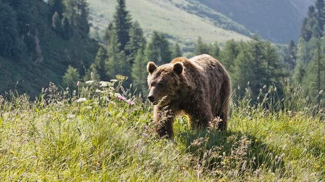 Ein Bär auf einer Wiese.