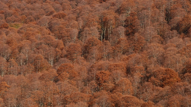 Viele Bäume mit braunen Blättern auf einem Berghügel.