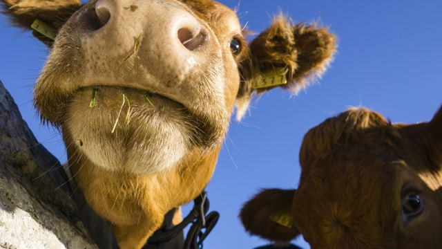 Kühe schauen in die Kamera.