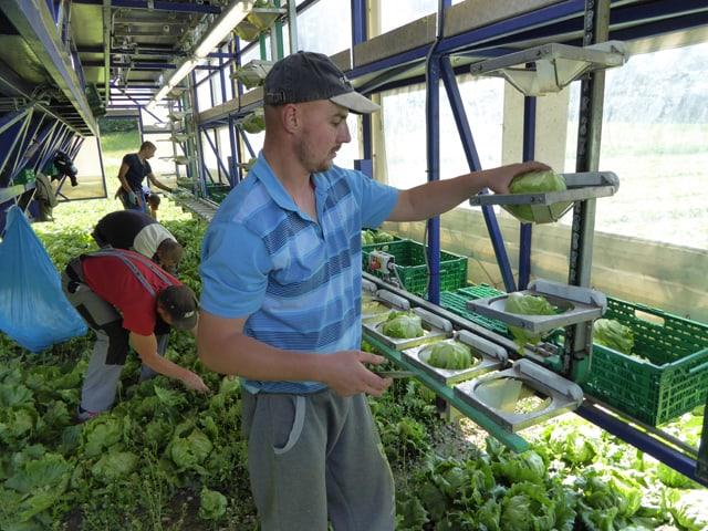 Ein Bauer schneidet einen Salatkopf.
