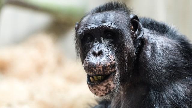 Eine Aufnahme des Kopfes des alten Schimpansen Eros. Schütteres Haar, rote Hautpigmente sichtbar.