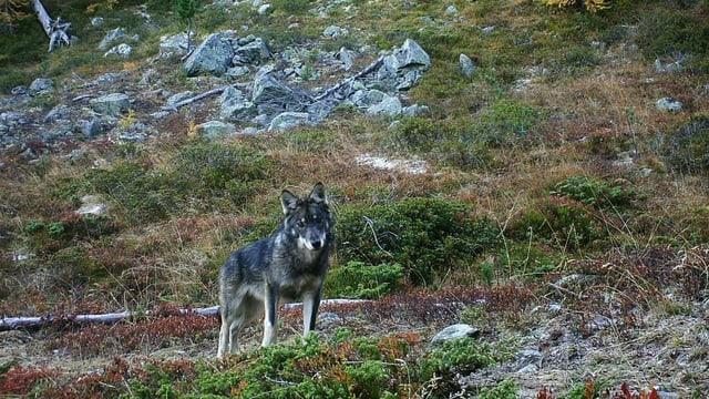 80 Wölfe leben in der Schweiz