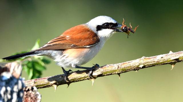 Ein Vogel auf einem Ast, in seinem Schnabel ein Insekt.