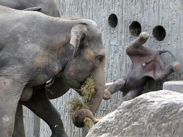 Elefantenvater wirbelt seinen Sohn durch die Luft