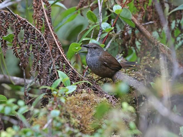 Ein unscheinbar, dunkler Vogel auf einem moosigen Ast.
