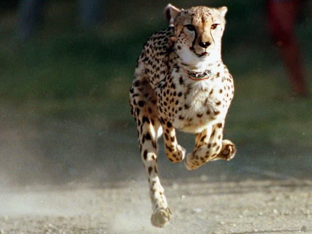 Ein Gepard rennt mit hoher Geschwindigkeit.