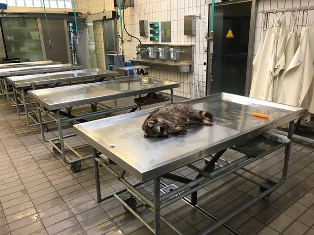 L'urset american è arrivà causa in accident en la patologia da l'universitad da Berna. L'urset american sin ina maisa en la patologia.