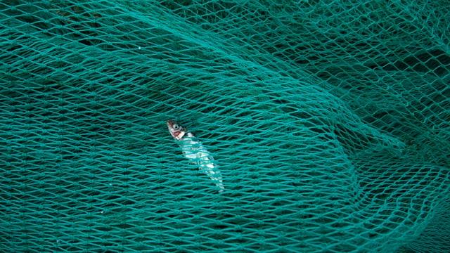 Ein Fisch schwimmt gefangen in einem Fischernetz.