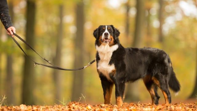 Hund in Wald an Leine.