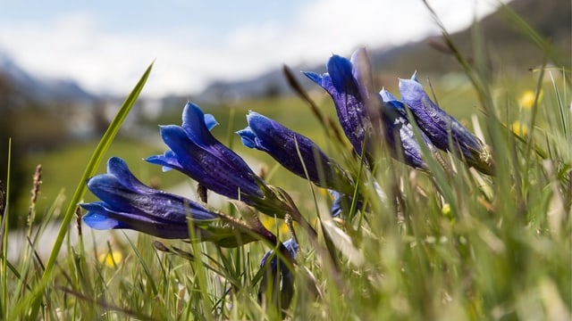 Fluras alpinas.