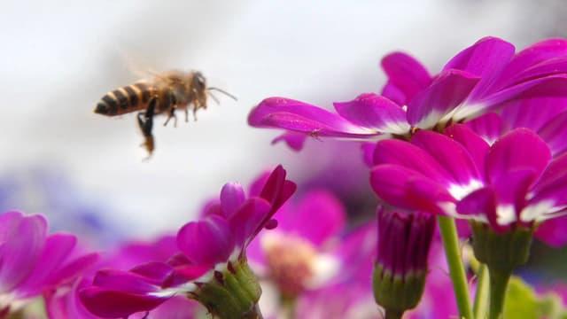 Eine Biene schwebt über einer Blüte