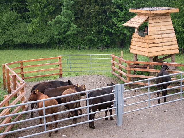 Rinder in einem kleinen Gatter, daneben eine Art Hochsitz aus Holz.