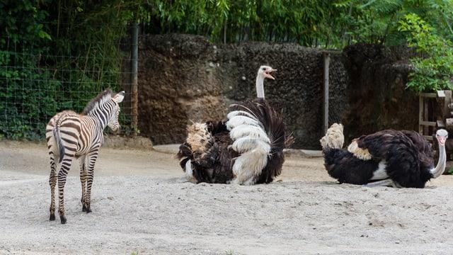 Zebra mit Straussen