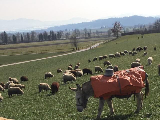 Eine Schafherde weidet am Wauwilermoss, im Vordergrund ein Esel.