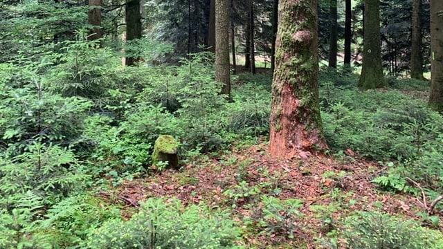 Baum in einem Wald, Rinde löst sich