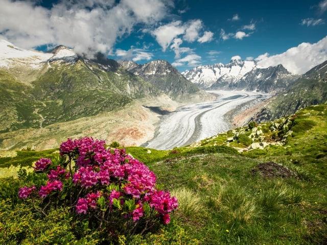 Alpenrosen im Vordergrund dahinter ein Glletscher, es herrscht sonniges Wetter.