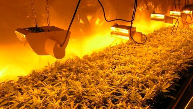 Hanfplantage mit Wärmelamben.