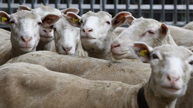 Mehrere Schafe stehen dicht gedrängt beieinander.