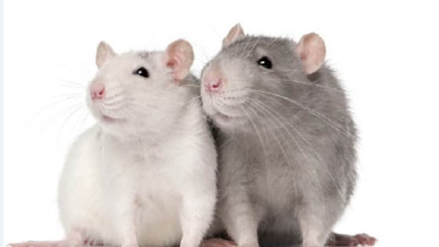 Ratten haben eine kurze Lebenserwartung