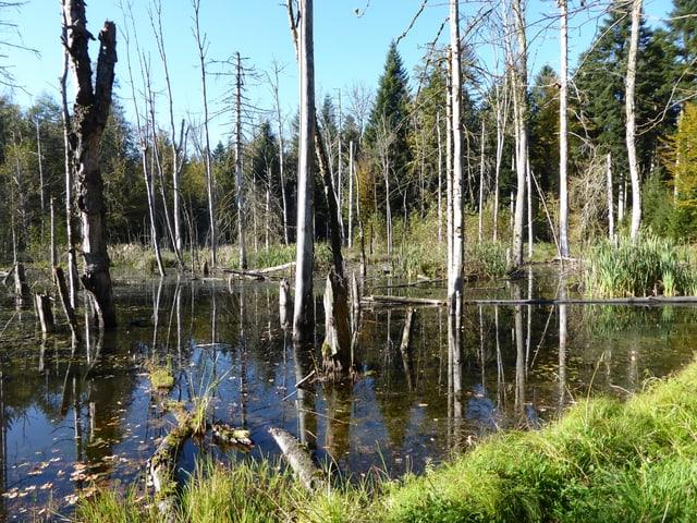 Abgestorbene Bäume im Wasser