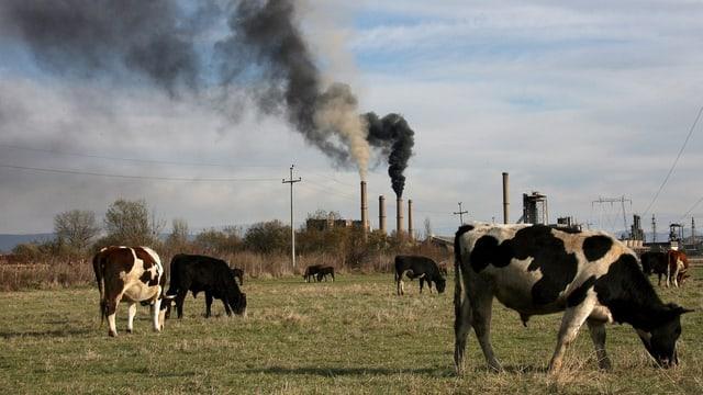 Kühe grasen auf einer Wiese, hinter der schwarze Rauchwolken aus einem Kraftwerk in den Himmel steigen.
