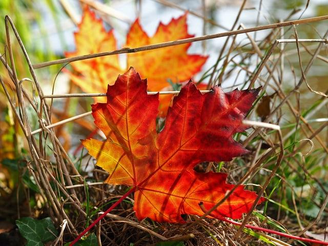 Rot und gelb verfärbte Ahornblätter liegen im  Gras.