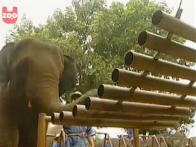 Ein Elefant spielt auf einem grossen Xylofon.