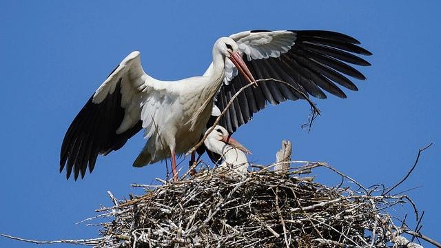 Storchennest mit Eltern und Jungvögel