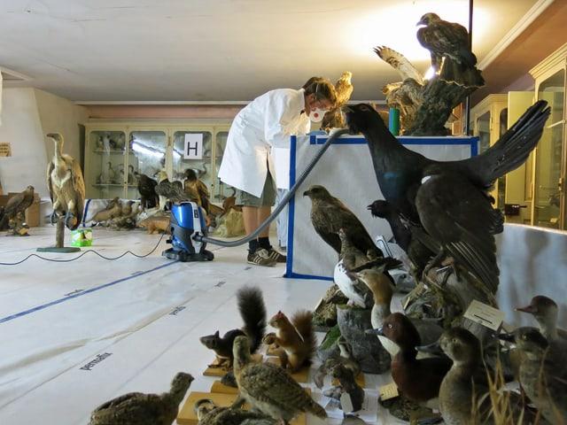 Restaurator mit einem Staubsauger beim Säubern von ausgestopften Vögeln.