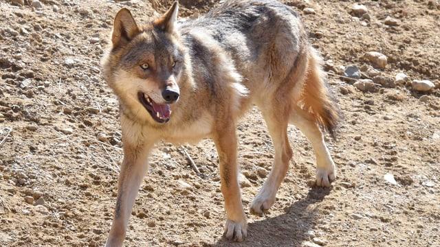 Wolf im Zoo von La Garenne (VD). (Symbolbild)