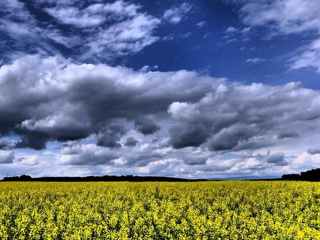 Unten gelbes Rapsfeld, darüber blauer Himmel mit einigen Wolken, alle Farben sehr klar.