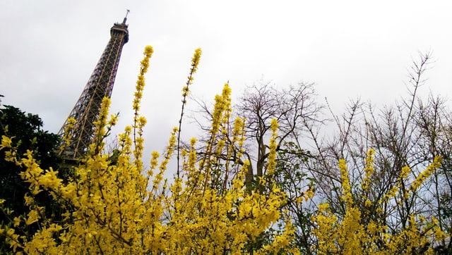 Gelbe Forsythienblüten, im Hintergrund der Eiffelturm
