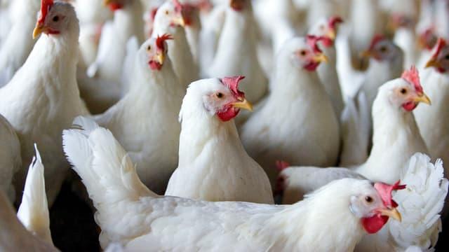 Hühner in einem Zuchtbetrieb.