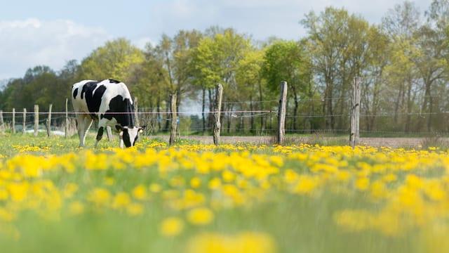 Eine Kuh frisst auf einer Weide